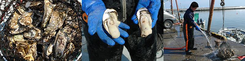獲れたての牡蠣は水槽で殺菌処理されます