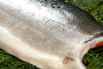 銀色に輝く紅鮭