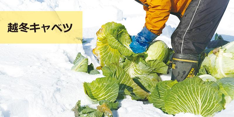 北海道の冬野菜・越冬キャベツ