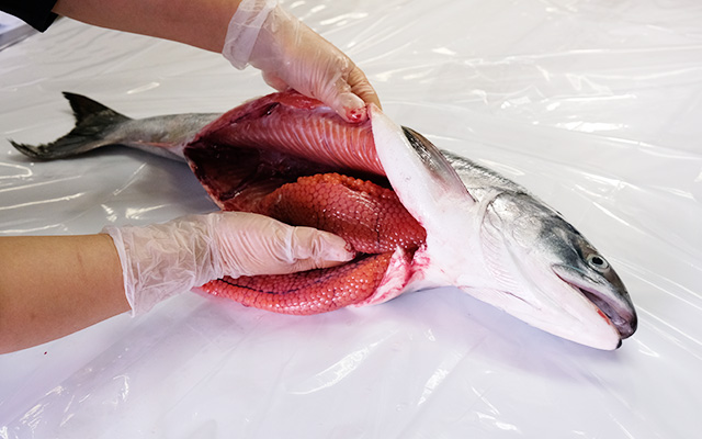 めじか鮭の筋子を取り出します。