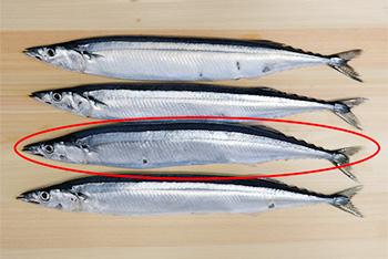 お刺身にするなら一番太った秋刀魚(さんま)がオススメ。
